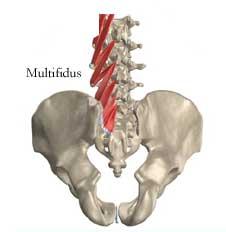multifidus
